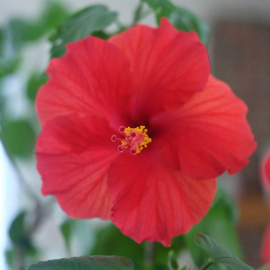 hibiscus quebec