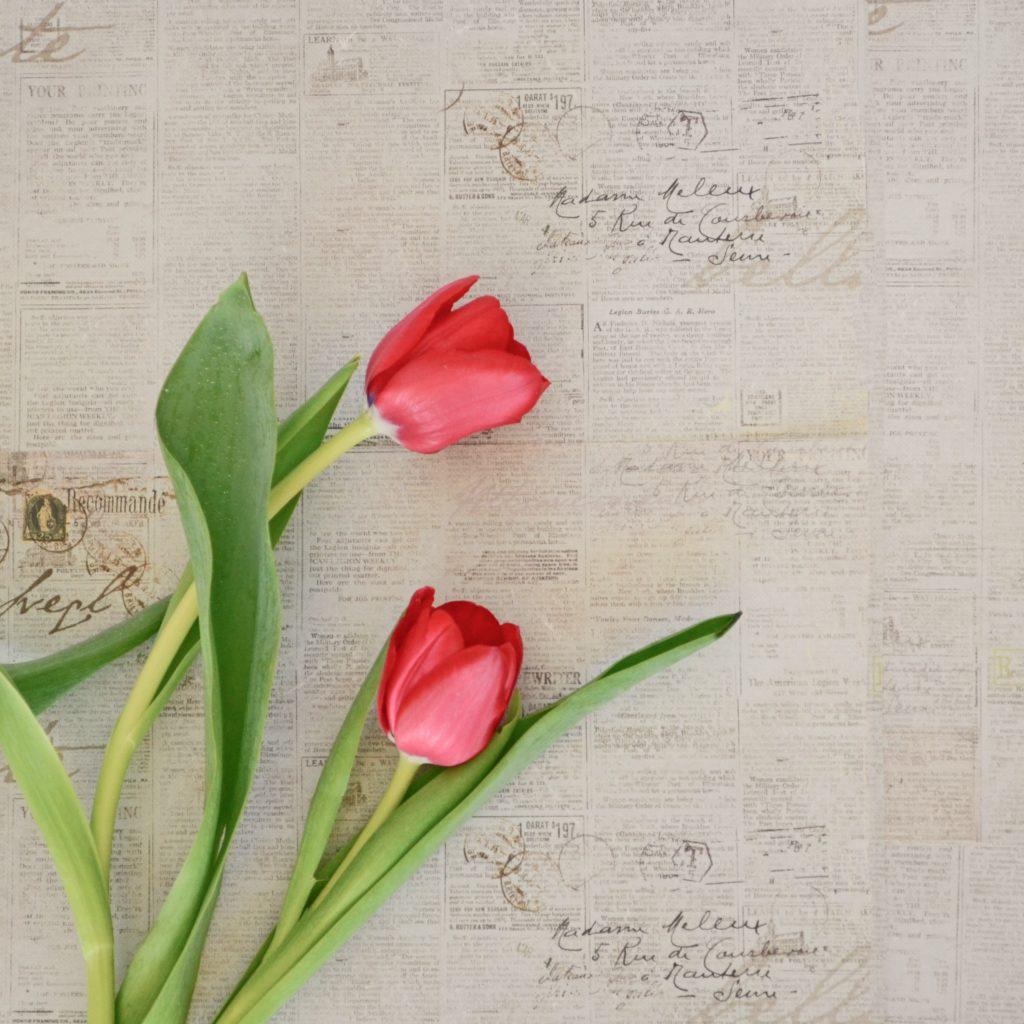 tulipes québec magog fleurs locales cantons-de-l'est
