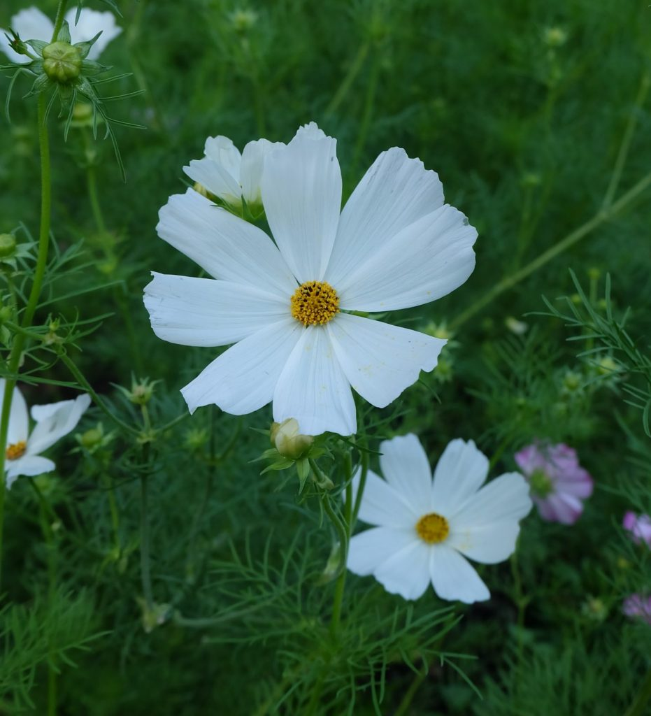 cosmos purity magog
