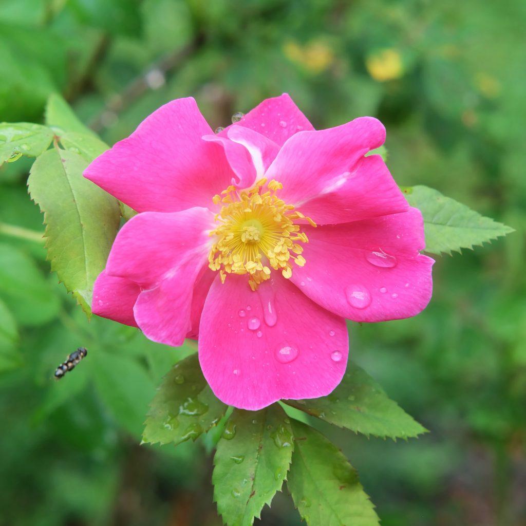 rose magog